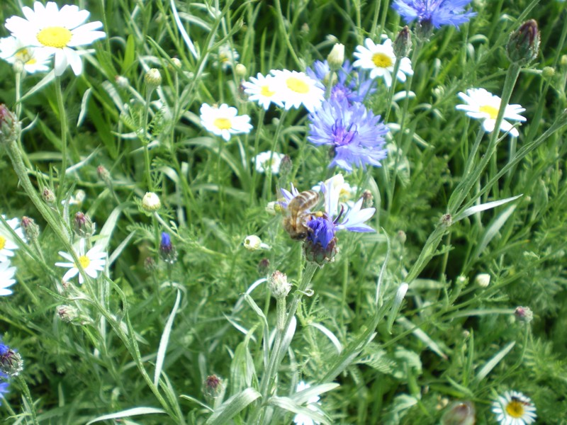 Honeybee on Cornflower.